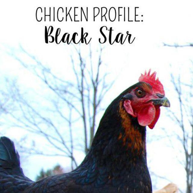 مرغ نژاد بلک استار